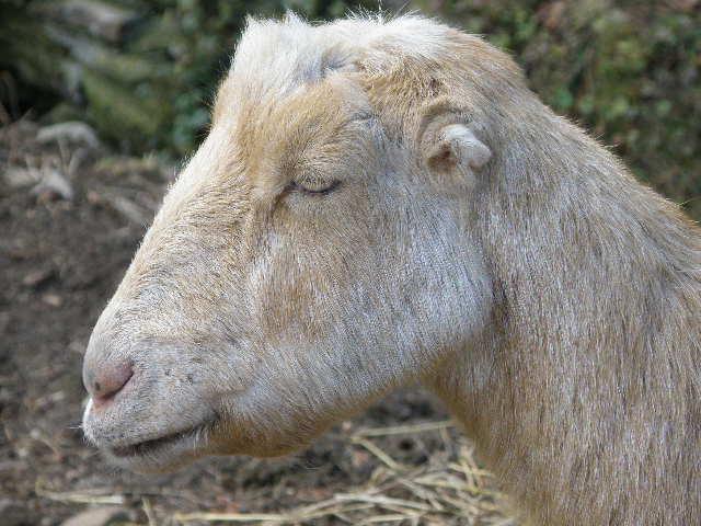 Goats&Goats&Goats