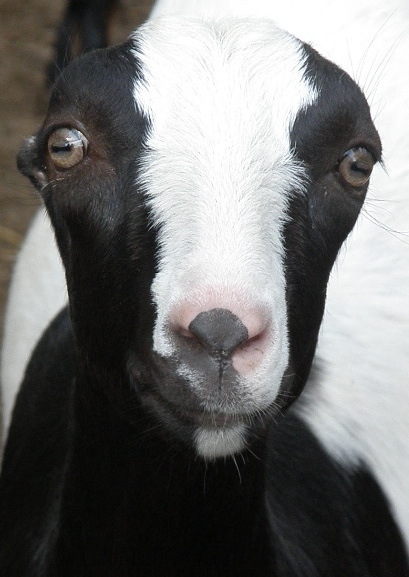 Love -R- Goats Farm - located in Lee County, Virginia ...