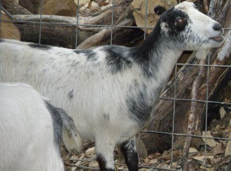 Love -R- Goats Sinful Selene