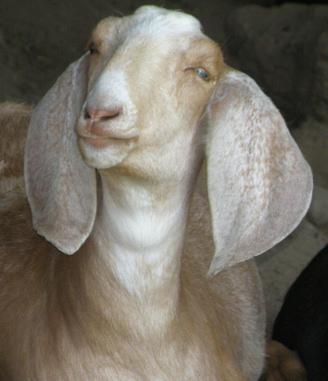 Goat Wormer