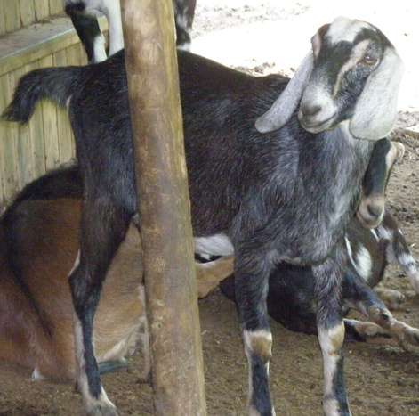 Oak Island Acres Goat Dairy