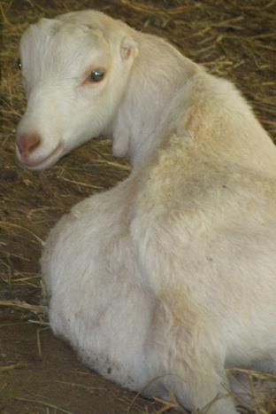 Wai Ling Goat