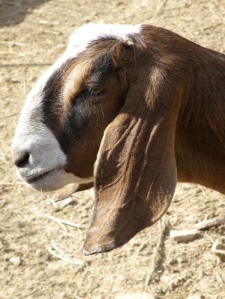 Goat 'Love